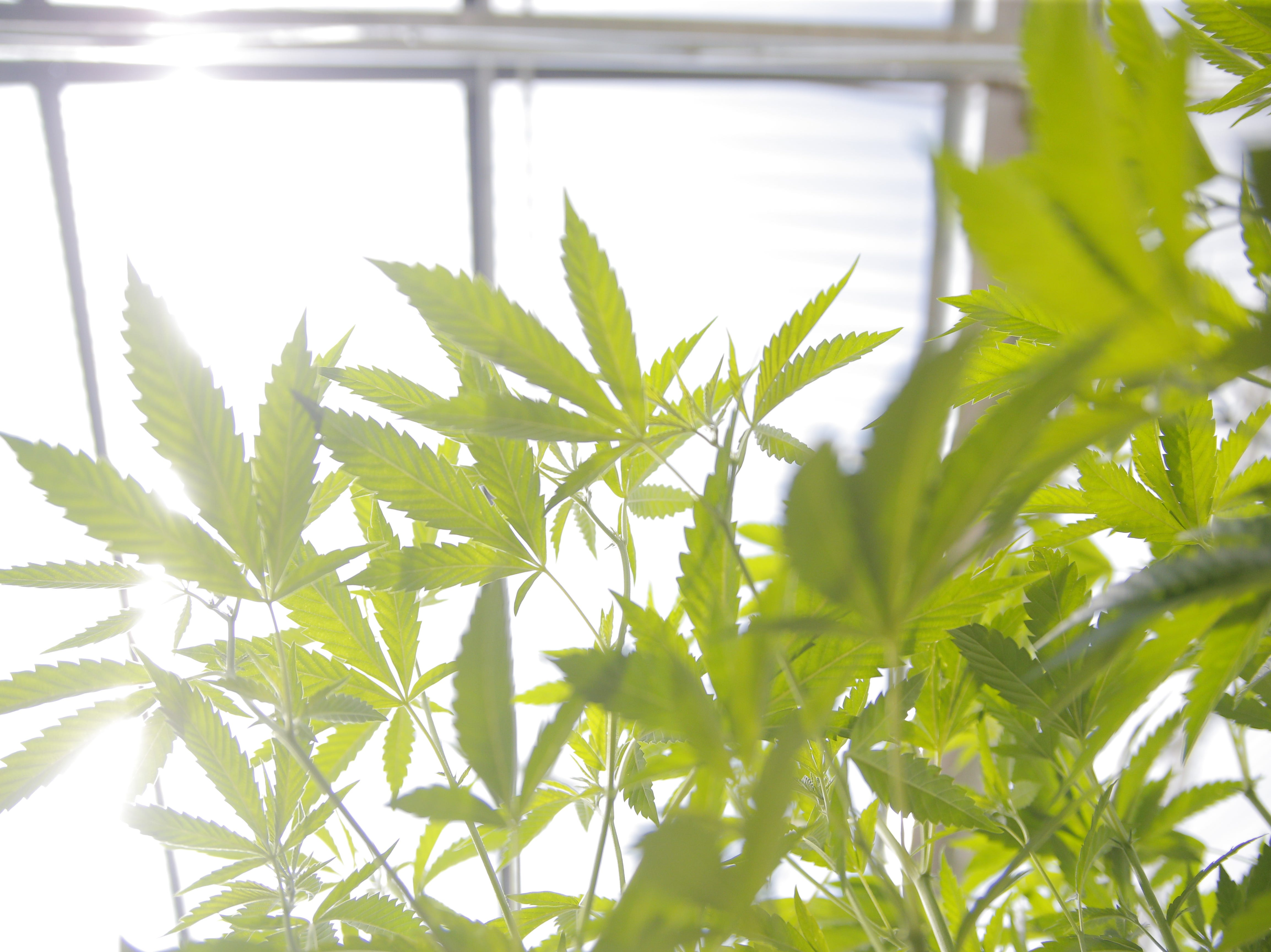 Marijuana plants soak in the sunlight at the Pacific Reserve, a nursery and cultivation site south of Salinas.