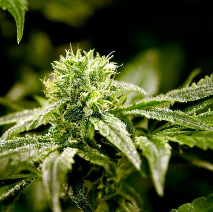Marijuana cultivators in Utah could face fees over $100,000