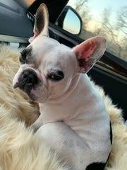 Walter Geoffrey, the French Bulldog, has his own Instagram account with thousands of followers.