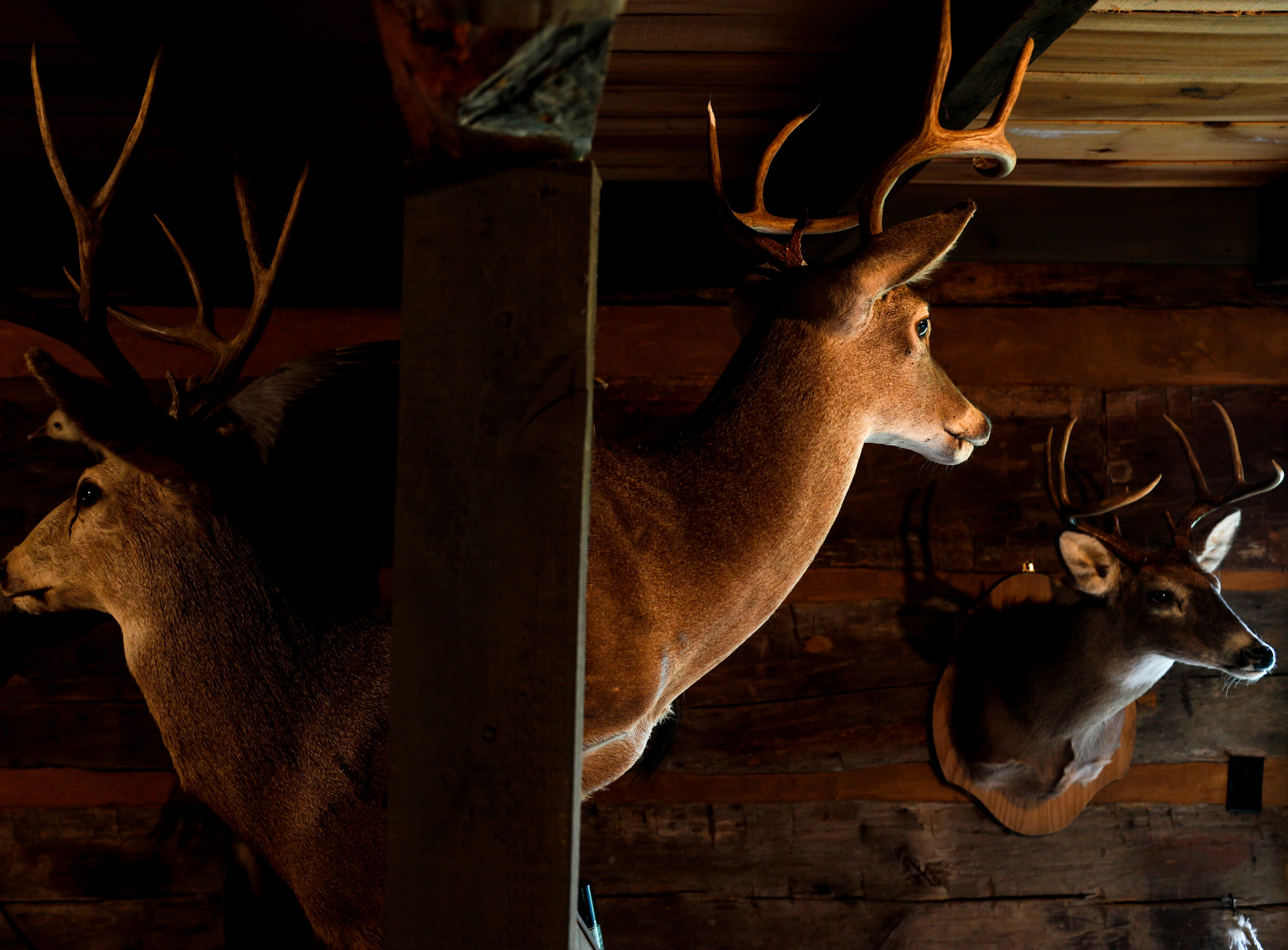 A pair of buck are mounted on either side of a wall in the nature center at the annual Easter egg hunts at Historic Collinsville in Clarksville, Tenn., on Saturday, April 20, 2019.