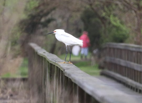 A great egret is perched on a foot bridge as Liberty Valance of Weehawken (in the background) collected debris from the marsh, participating in the third annual Earth Day Cleanup at Mill Creek Marsh in Secaucus on April 20, 2019.