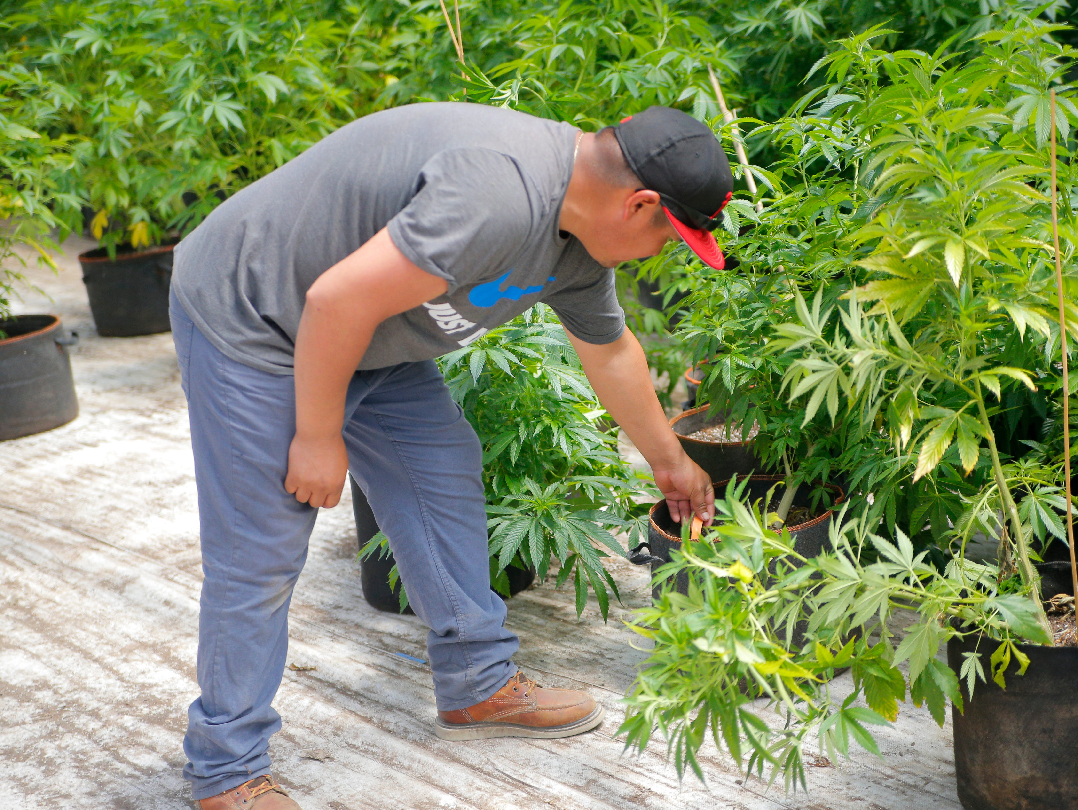 Melitón Andres Hernadez examines a cannabis plant April 19, 2019, at Pacific Reserve, a nursery and cultivation site where he works outside of Salinas.