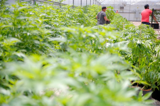 Cannabis is grown and processed at Pacific Reserve, a nursery and cultivation site south of Salinas, April 19, 2019.