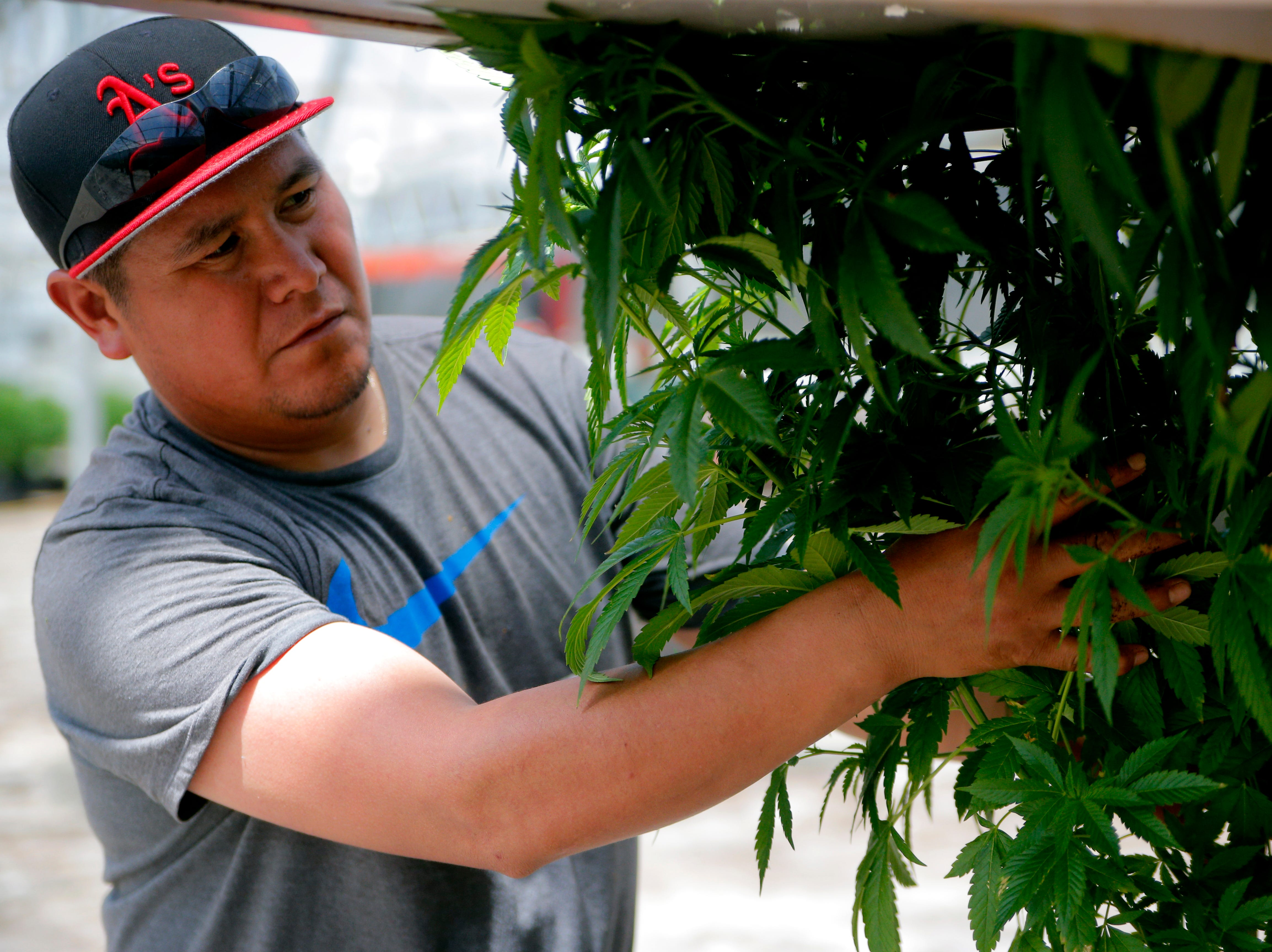 Melitón Andres Hernadez places a cannabis plant on a cart April 19, 2019, at Pacific Reserve, a nursery and cultivation site where he works outside of Salinas.