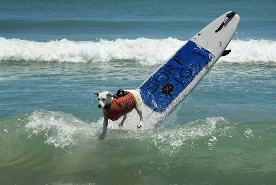 Returning champion Surf Pig, a three-legged female Jack Russell Terrier, dazzled the crowd once again last year at Cocoa Beach's Lori Wilson Park, and won Overall Best Dog. This year's Easter Surf Pro/Am was going to be dedicated to Surf Pig, who died earlier this year.
