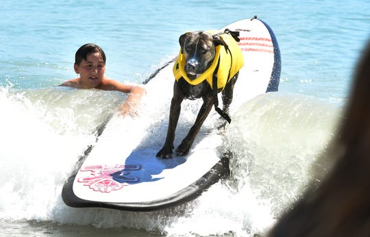 Surfing Unleashed. The Brevard Humane Society East Coast Dog Surfing Competition was held Easter Sunday, April 21, at Lori Wilson Park, part of the Cocoa Beach Easter Surf Contest. Sunday also included surf lessons for dogs. The awards for Top Dog was Lily, and overall Best Dog was Surf Pig, the returning champ.