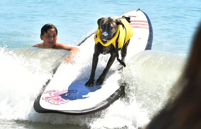 Dog surfing brings out the best three- and four-legged wave riders during the annual Brevard Humane Society East Coast Dog Surfing Competition at Lori Wilson Park, part of the Cocoa Beach Easter Surf Pro/Am.