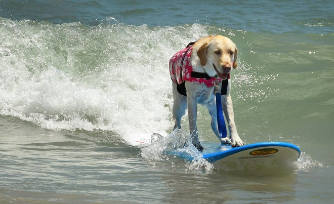 Surfing Unleashed. Lily, who seems to smiling as she catches a wave, went on to take Top Dog, while Surf Pig, the returning champ won Best Overall Dog. The Brevard Humane Society East Coast Dog Surfing Competition was held Easter Sunday, April 21, at Lori Wilson Park, part of the Cocoa Beach Easter Surf Contest. Sunday also included surf lessons for dogs.