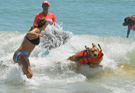 Copper competes on the same day he learned to surf! The Brevard Humane Society East Coast Dog Surfing Competition was held Easter Sunday, April 21, at Lori Wilson Park, part of the Cocoa Beach Easter Surf Contest.