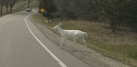 A rare albino doe crosses a street at Kensington Metropark