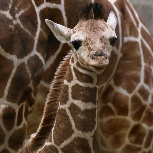 Former Indianapolis Zoo giraffe to be featured Animal Planet show 'The Zoo'