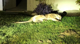 Ivan Eskeleto from Tulare posted video on Twitter of a mountain lion making its way through a Tulare neighborhood.
