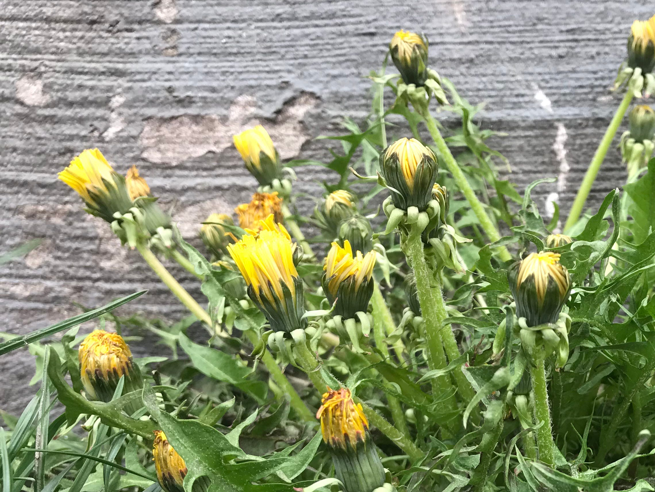 Dandelions flower on King Street in Burlington on Monday, April 22, 2019.