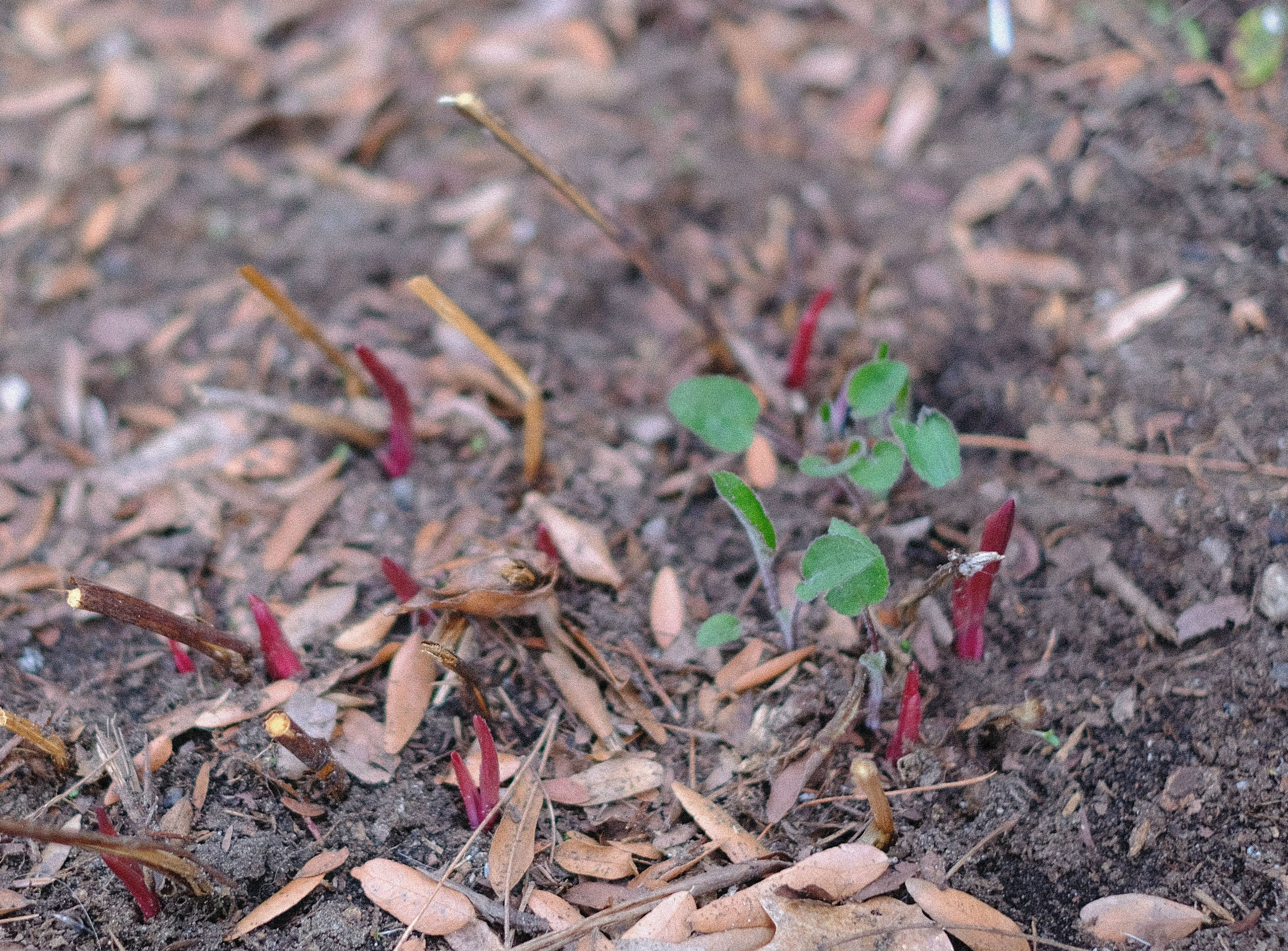Peony shoots emerge from a garden in South Burlington on Monday, April 22, 2019.