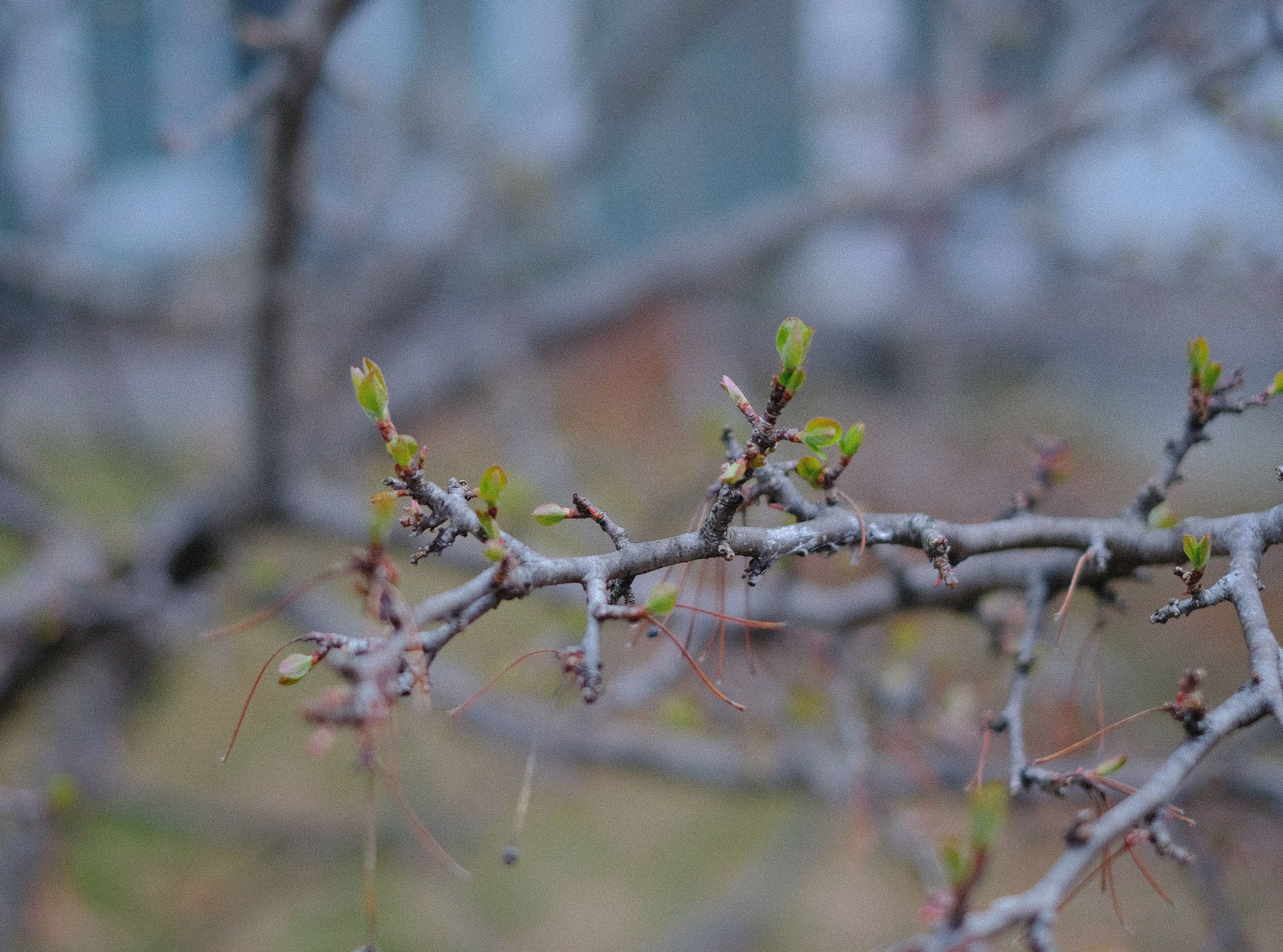 A crabapple tree in South Burlington begins to show signs of spring on Monday, April 22, 2019.