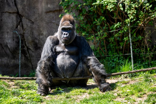 Jomo, a western lowland silverback gorilla, sits in the Gorilla World habitat at the Cincinnati Zoo & Botanical Garden Tuesday, April 16, 2019.
