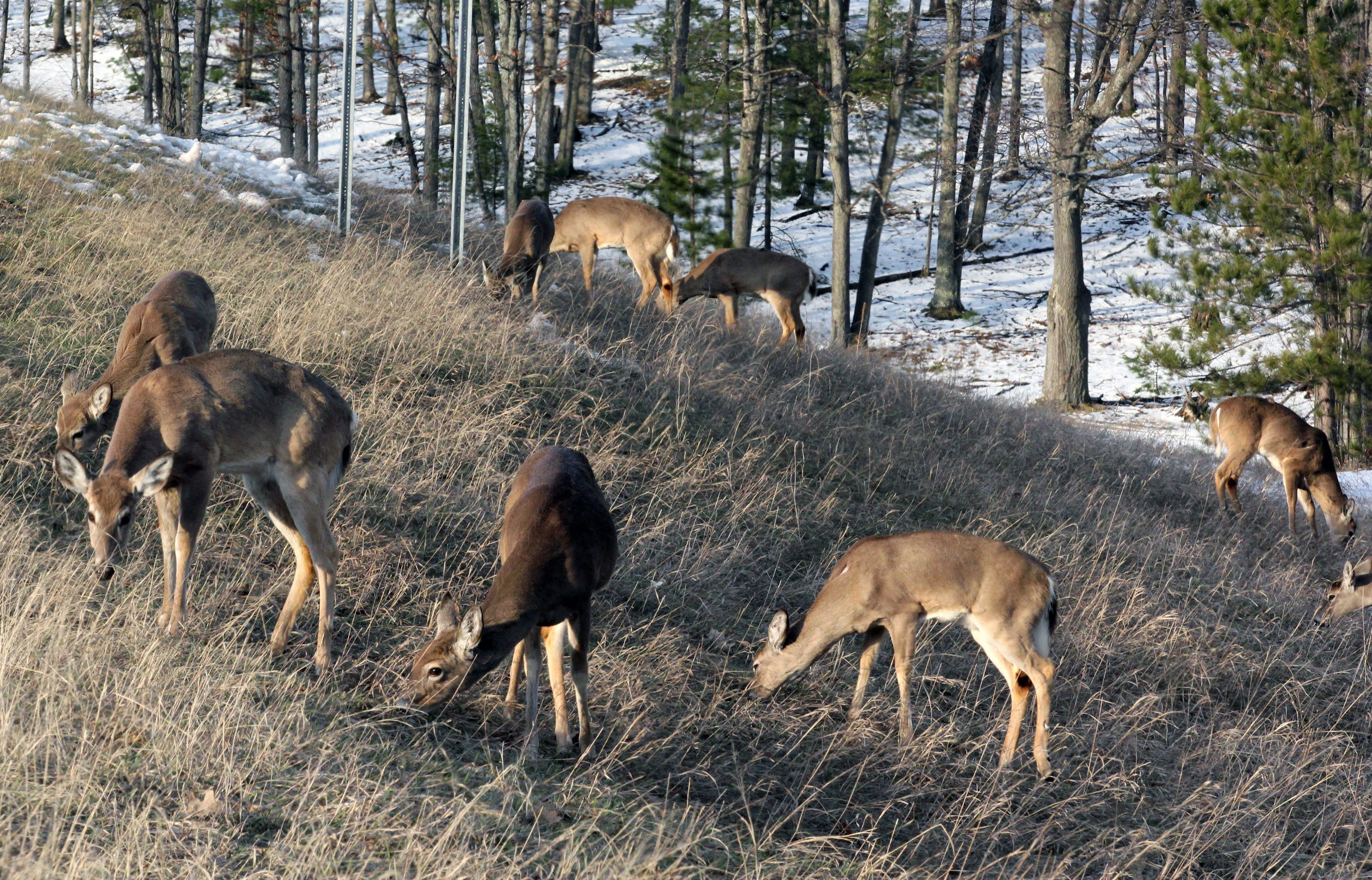 Deer feeding along Michigan coastline in this April 2011 photo file.