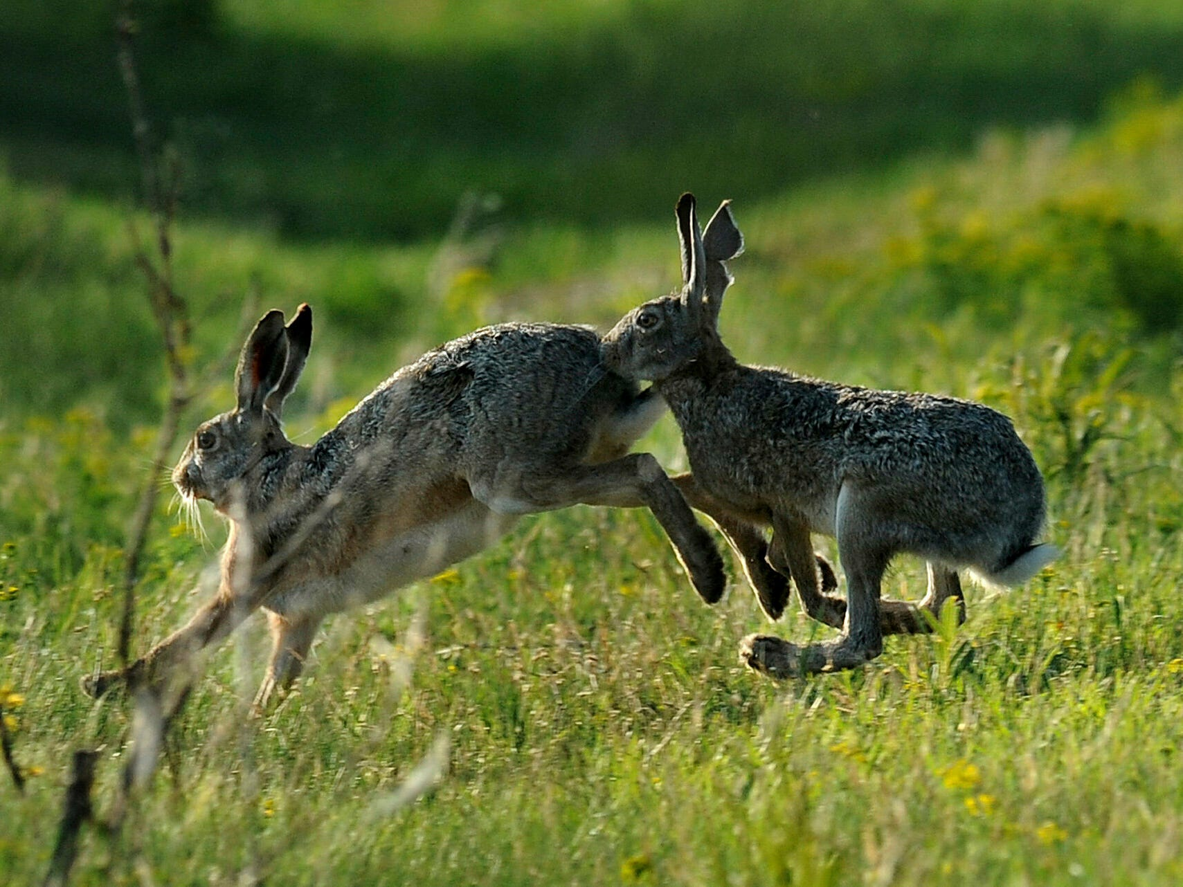 A photo made available on April 22, 2019, shows brown hares (Lepus europaeus) playing on a meadow near Tiszaalpar, 116 kms southeast of Budapest, Hungary, Sunday, April 21, 2019.