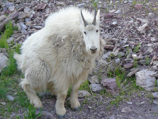 Mountain goat near the Goat Lick stop in Glacier National Park.