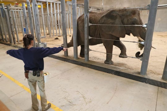 Elephant care coordinator Erin Dowgwillo puts Ruth through her exercises in part of the Milwaukee County Zoo's new Elephant Exhibit.