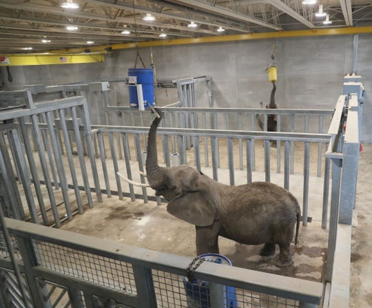 The zoo's two African elephants, Ruth, front, and Brittany are in an enrichment area set up to allow the elephants to use their trunks to reach as if into trees to get food. It's a skill  the zoo wants the elephants to maintain.