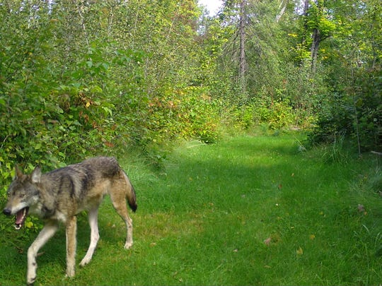 A wolf is shown in this trail cam photo from the Wisconsin Department of Natural Resources.