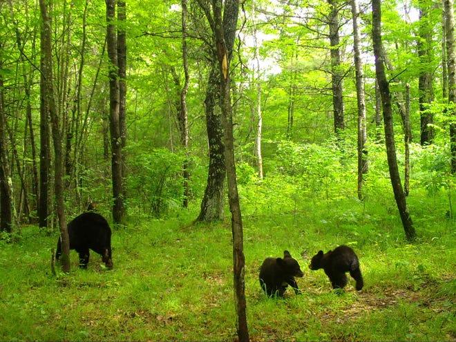 Black bears in Wisconsin