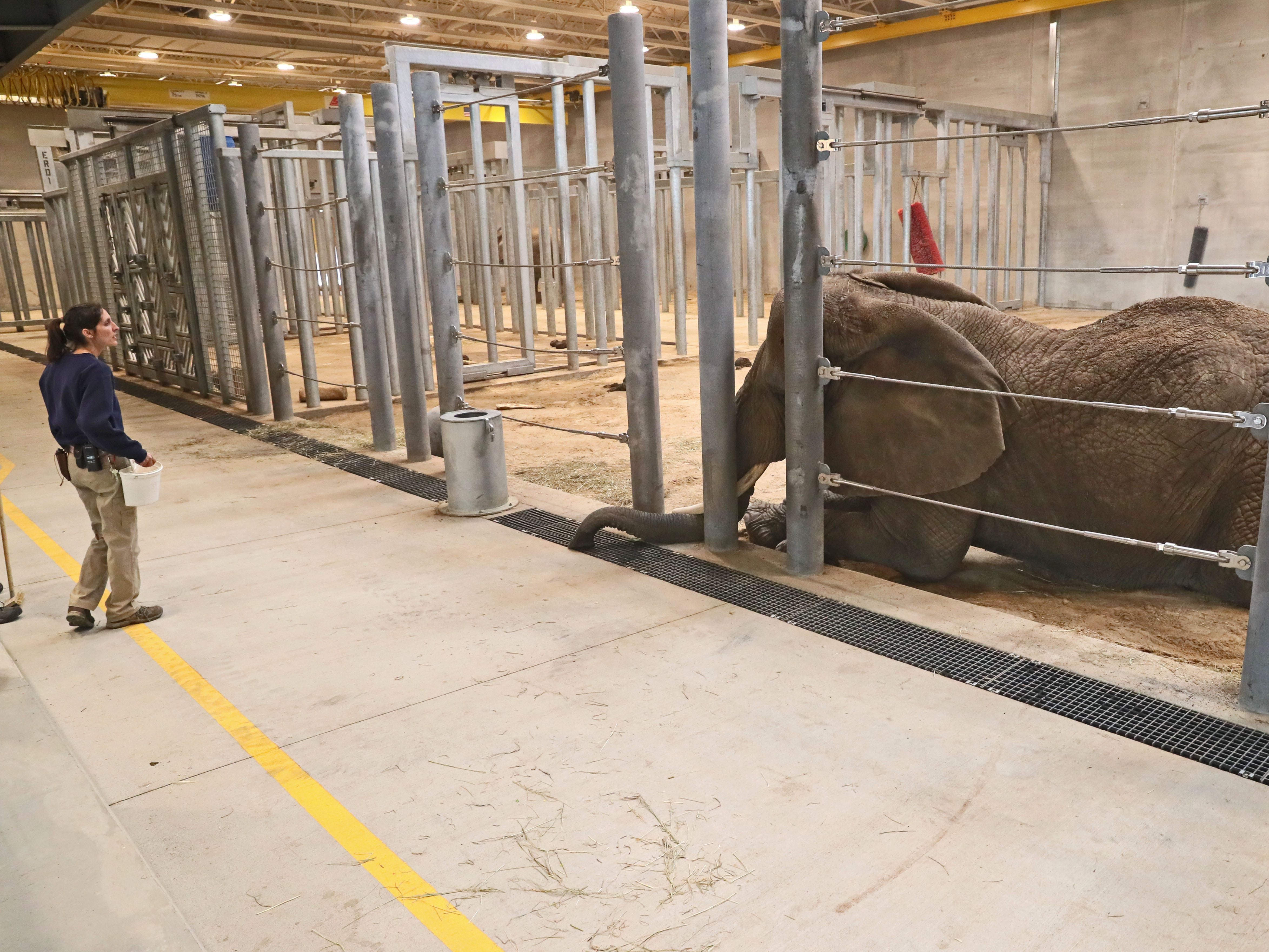 Erin Dowgwillo puts Ruth, one of the zoo's African elephants. through her exercises.
