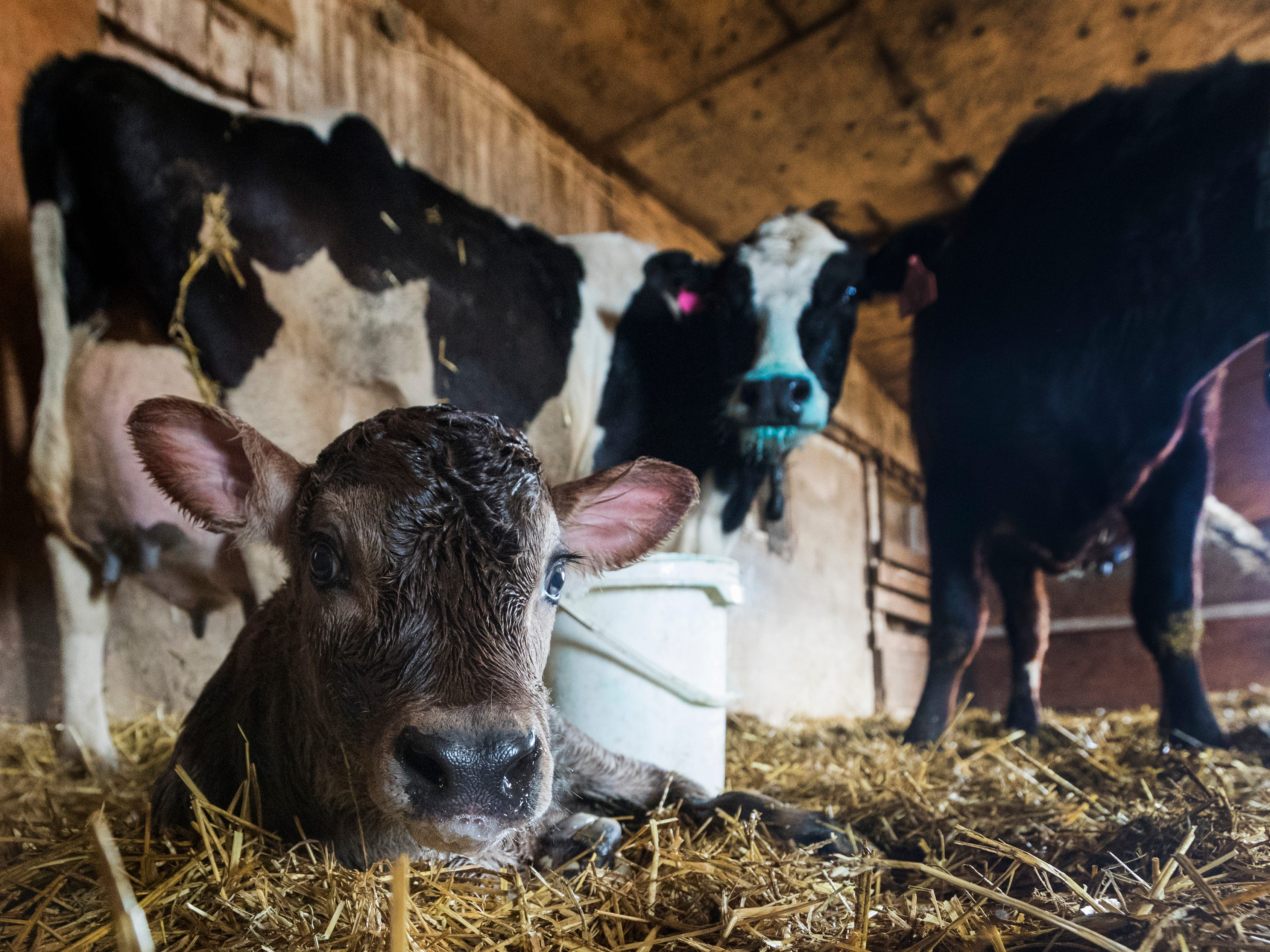 A 30-minute-old male calf is shown on the Mess family farm in Watertown.