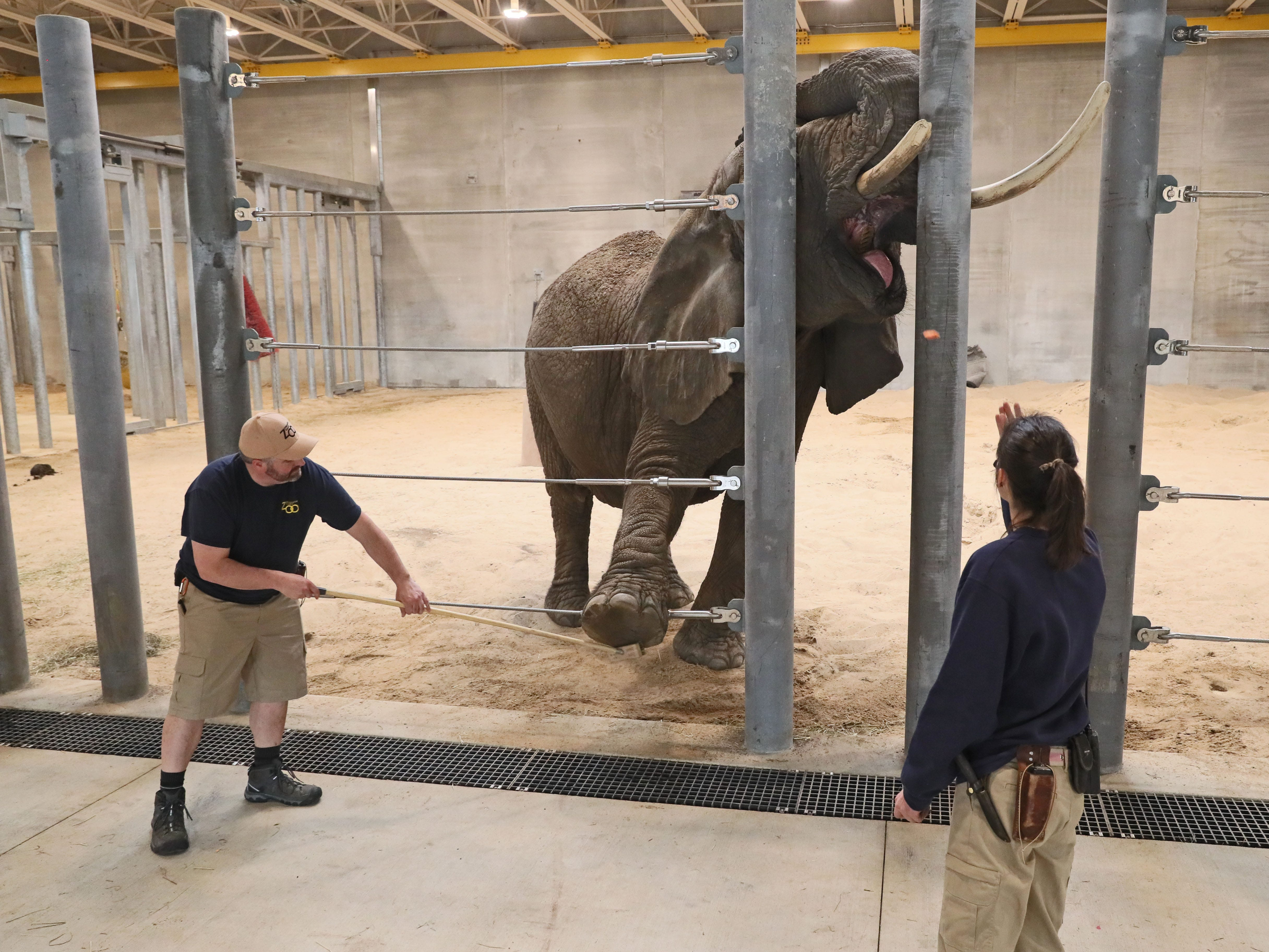 Elephant care coordinator Erin Dowgwillo, right, puts Ruth, one of the Milwaukee County Zoo's African elephants into one of her care positions so zookeeper Ryan Taylor can use a brush to remove rocks and debris that might be stuck in the animal's feet.  Food is used to reward the elephant.