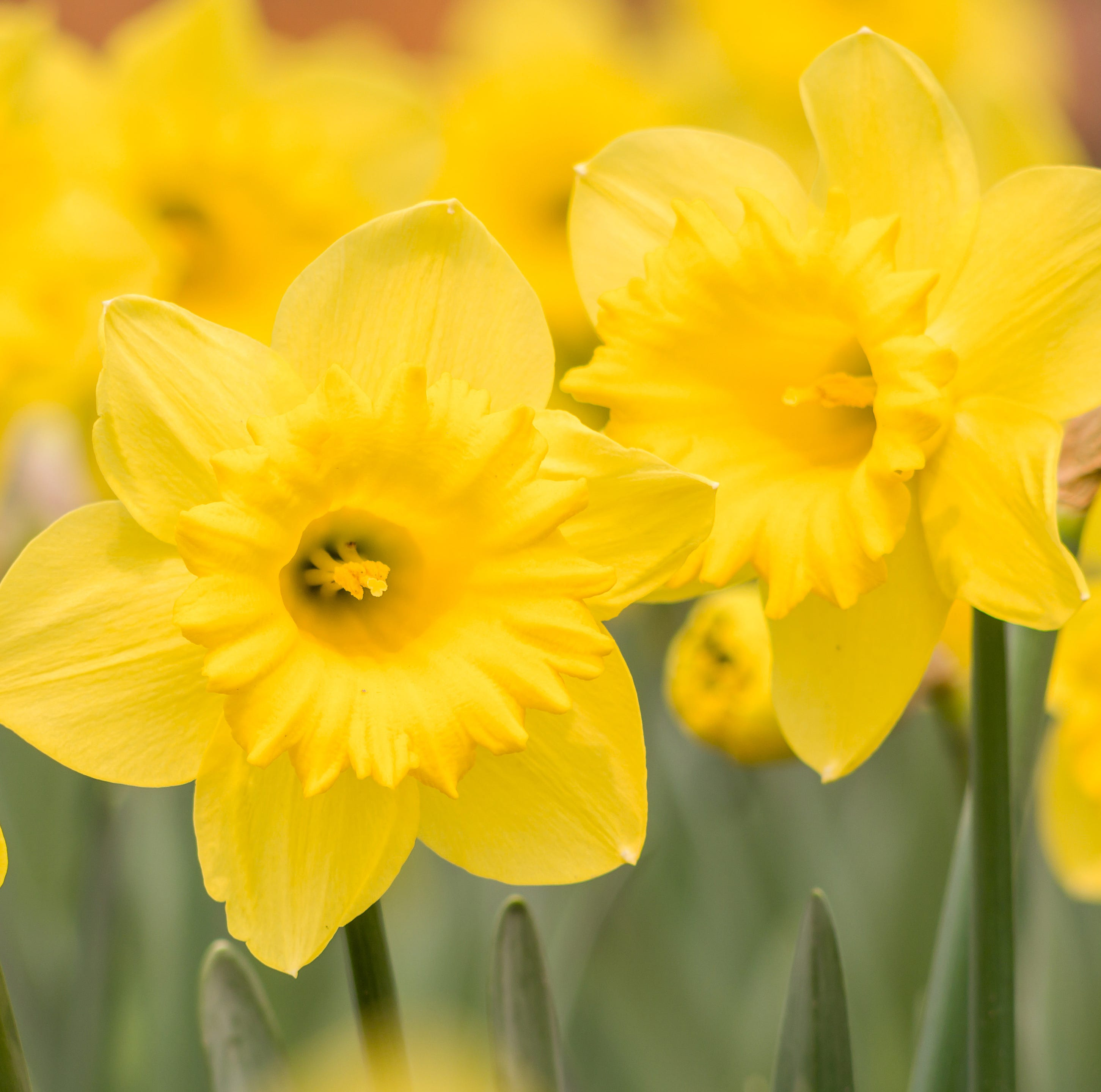 Get Up and Grow: Daffodils are the golden trumpets that herald spring