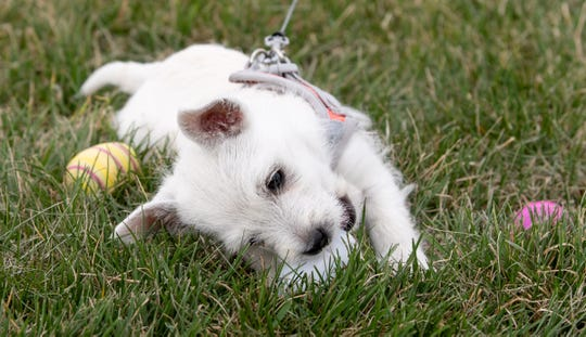 Harley, a 10-week-old West Highland Terrier, plays with Easter eggs at Autumn Winds Park Living Stones Church.