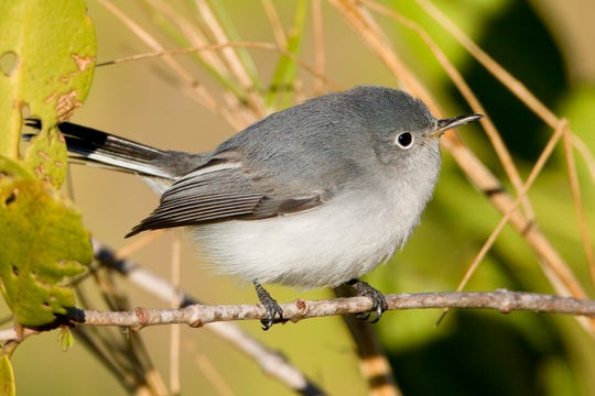 A blue-gray gnatcatcher sits on a branch.  Cute but fearless, these birds boldly assault invaders of any size who might threaten their jelly bean-size eggs.