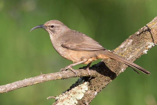 The decurved bill of the thrasher allows it to hunt for bugs while it watches for predators.