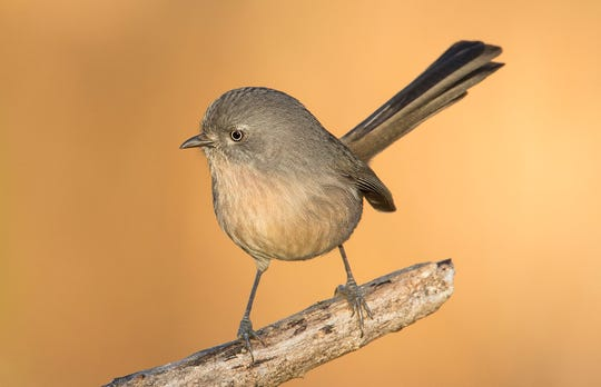 Common but rarely seen, wrentits live their whole lives in the chaparral.