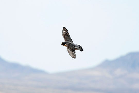 FILE - In this May 16, 2018, file photo, an adult peregrine falcon circles near its nest on a ledge overlooking Lake Mead in Temple Bar, Ariz. A Nevada state wildlife biologist is finding that not even the fastest bird on Earth can escape mercury contamination. Joe Barnes tells the Las Vegas Review-Journal the toxic element is turning up in feathers of peregrine falcons from coast to coast, including at the Lake Mead National Recreation Area. (Andrea Cornejo/Las Vegas Review-Journal via AP, File)