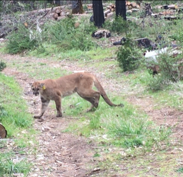 100-pound mountain lion found roaming the streets of Tulare