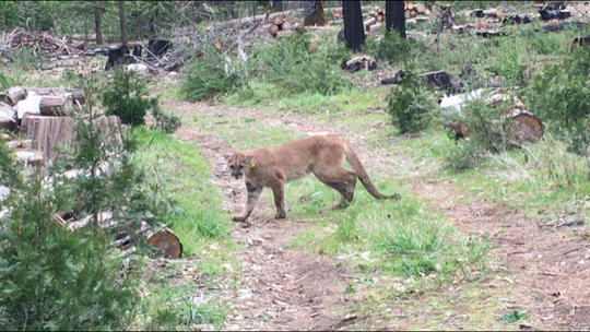 A mountain lion was found roaming the streets of Tulare on Saturday night. The animal was later released back into the wild.