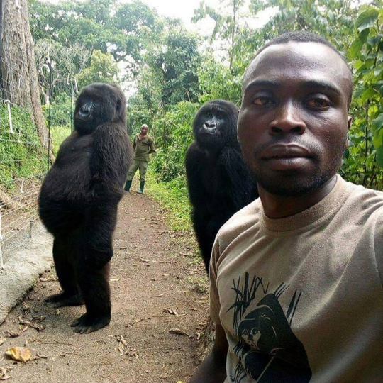 This image shows a caretaker at Virunga National Park in eastern Congo taking a selfie as two female gorillas appear to pose behind him.