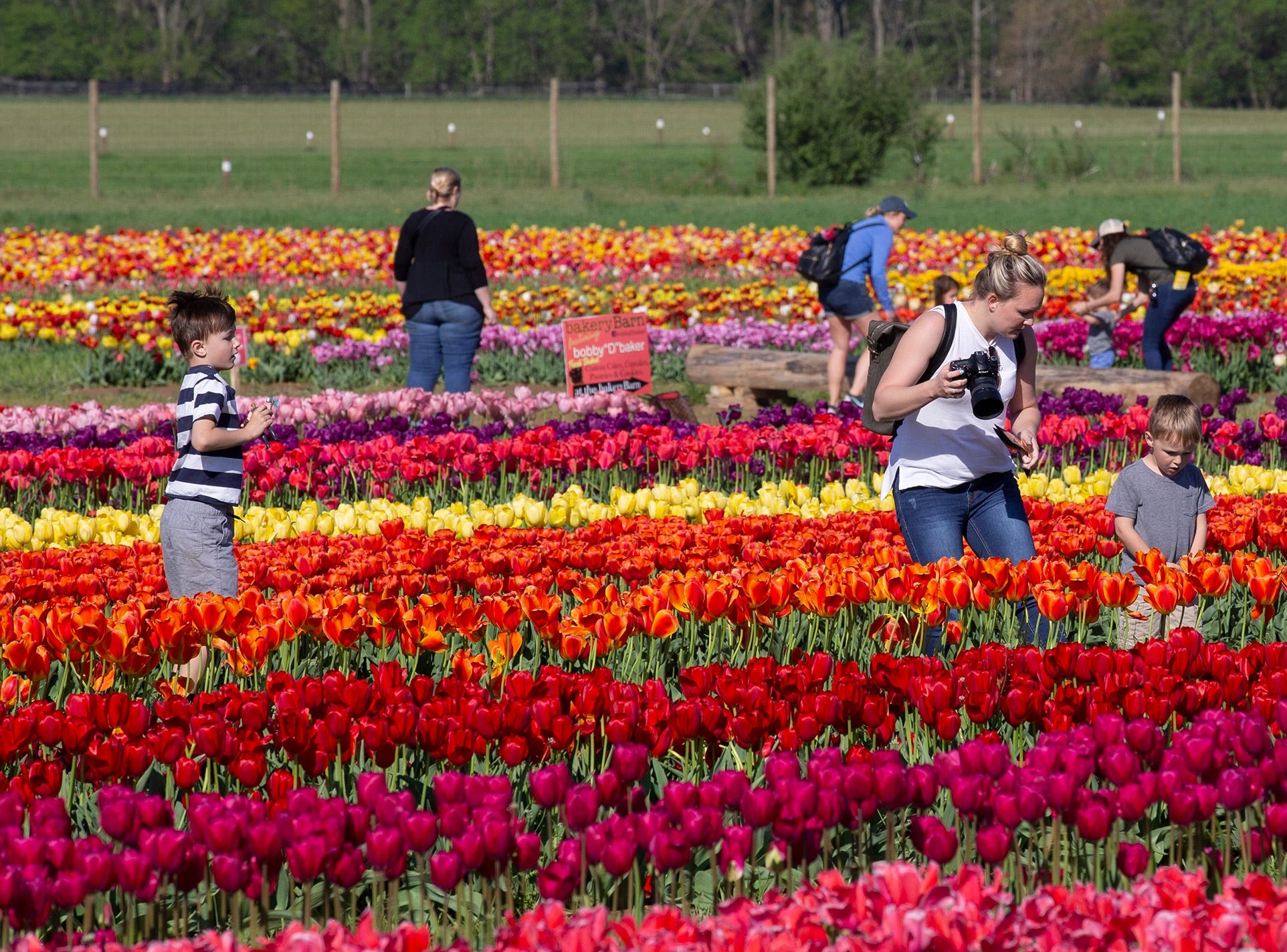 Annual Tulip Festival at Holland Ridge Farms in Cream Ridge Section of Upper Freehold Township. People came from all around to look at the flowers, take pictures of the flowers, and take pictures of themselves with the flowers.