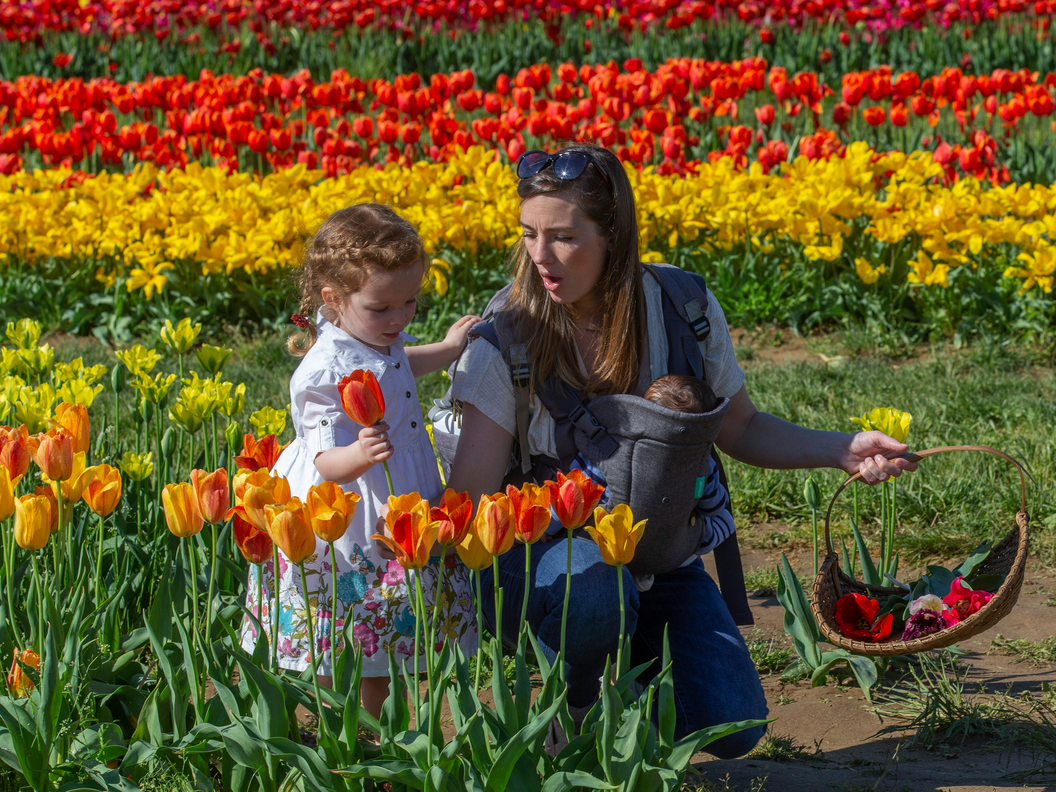Sadie Decesari, 3, of Tuckerton helps her mom Vanessa picks some flowers at the annual Tulip Festival at Holland Ridge Farms in Cream Ridge Section of Upper Freehold Township. People came from all around to look at the flowers, take pictures of the flowers, and take pictures of themselves with the flowers.