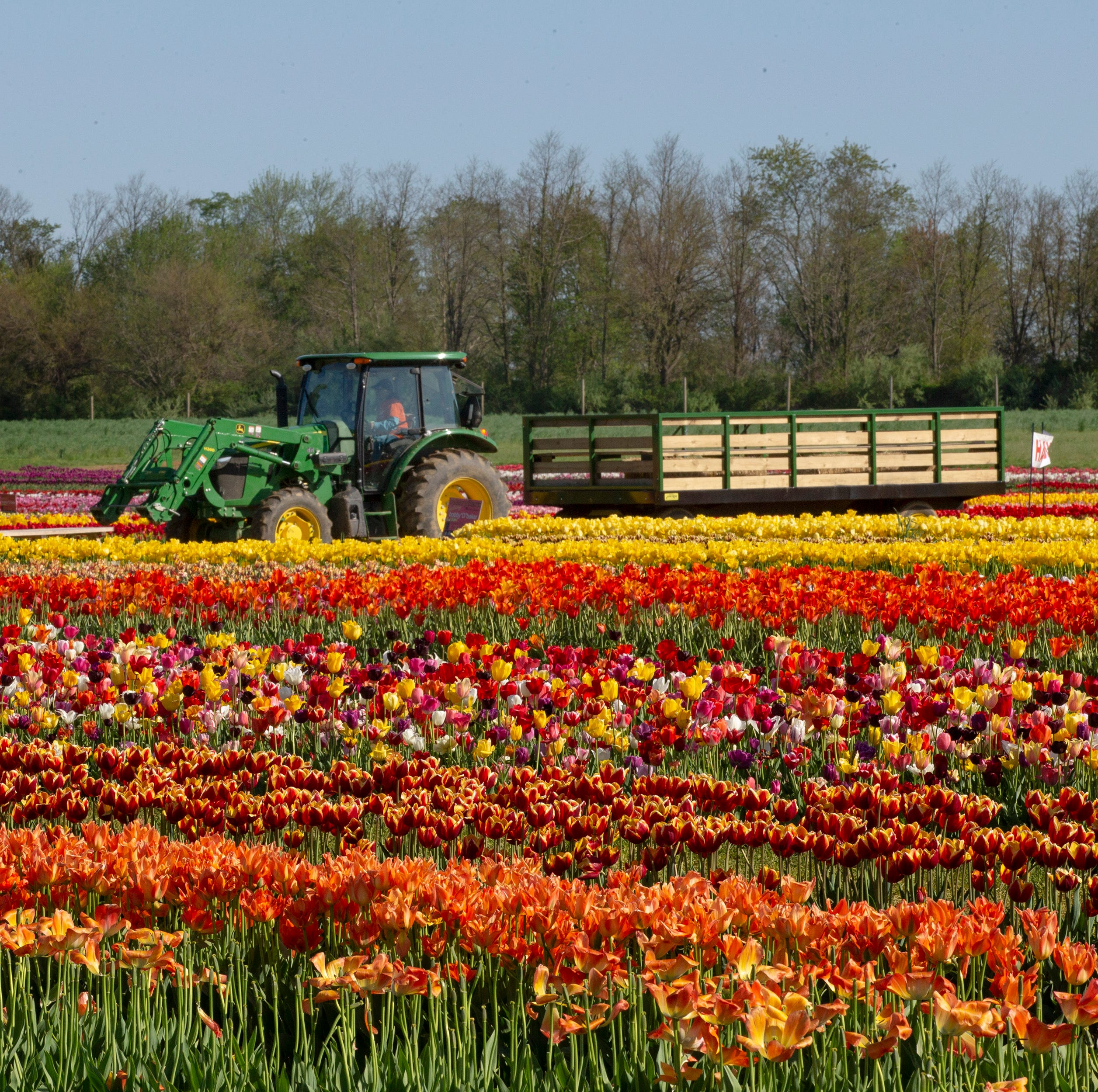 Holland Ridge Farms: Tulips are in bloom in Cream Ridge