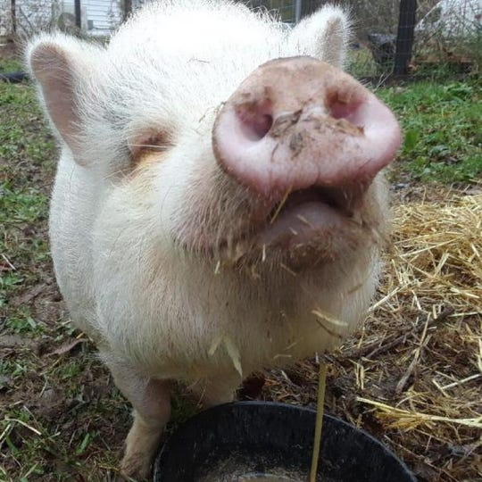 Confetti the potbellied pig is currently living with a foster family in the Brother Wolf network.