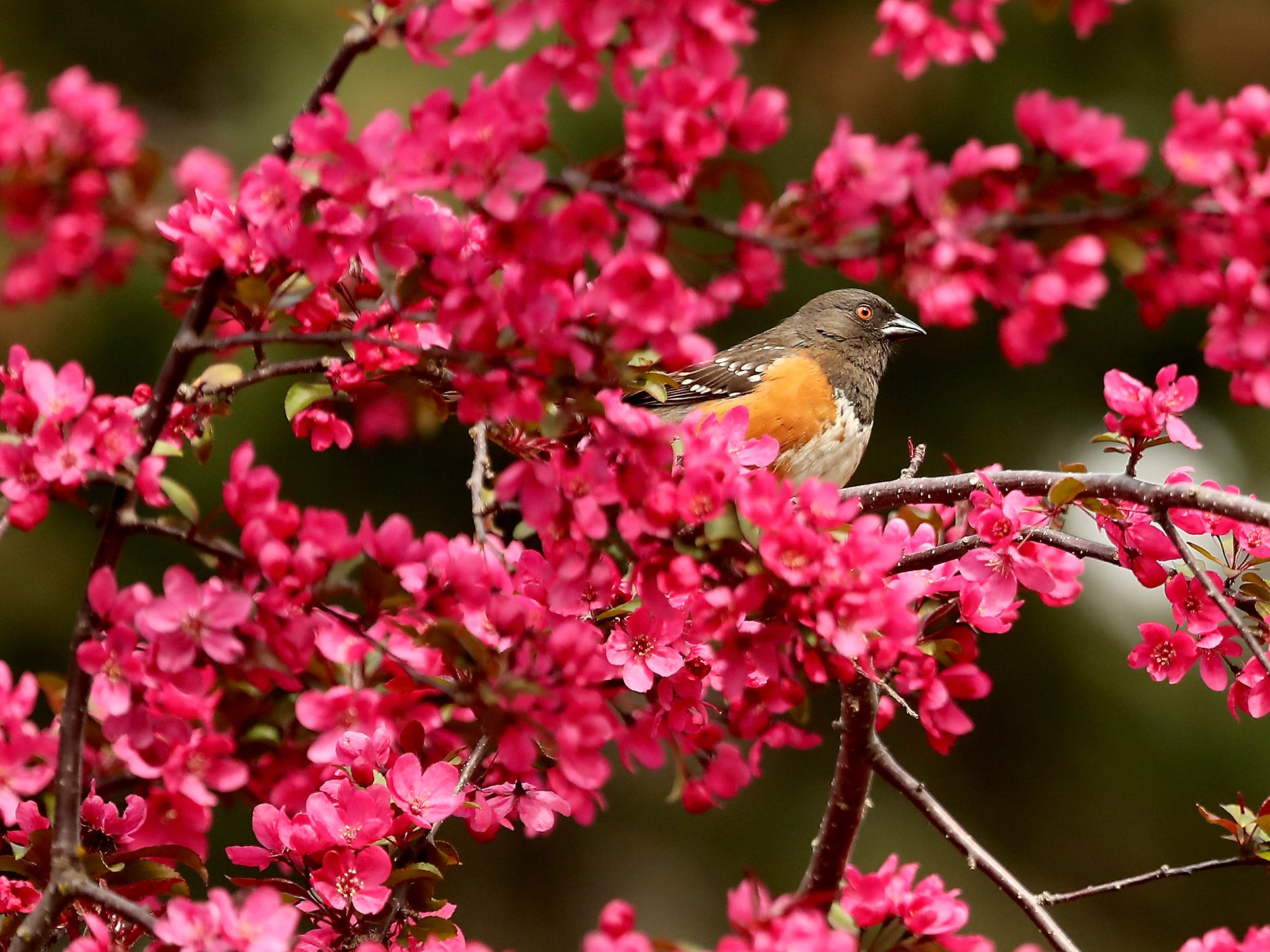 A spotted towhee is framed by the blossoms of a tree in Bremerton's Lent Landing Park on Tuesday, April 23, 2019.