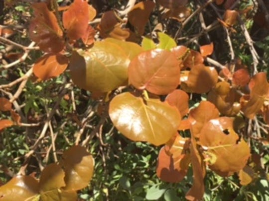Sea grape leaves along the Cocoa Beach and Patrick Air Base coastline appear to be weathered from from the recent hailstorm but experts say the brown color is only normal and new growth will replace it within two weeks.