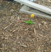 Anne Kaercher Thomas believes her nephew Lito sent this tulip as a message of hope on Easter.