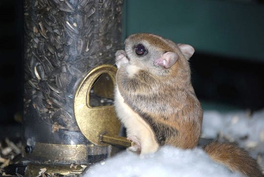 A notcurnal shot of a southern flying squirrel at a bird feeder. This is the species found in this area.