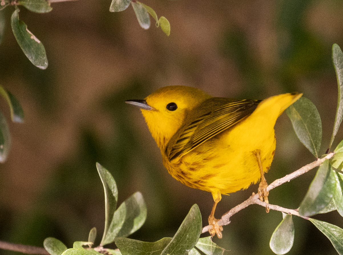 A yellow warbler flits through shrubbery at the Sanibel Lighthouse on Sanibel Island on Saturday, April 20  2019. It is spring migration for birds as they make their way north. They are coming from South and Central America where they make their way across the Gulf of Mexico to their breeding grounds in eastern North America according to Cornell Lab of Ornithology.