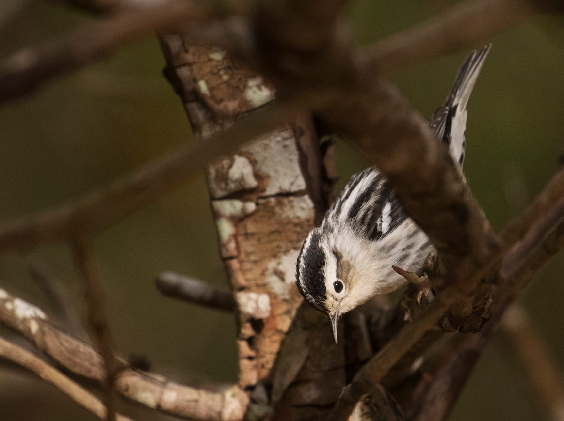 A black and white warbler flits through shrubbery at the Sanibel Lighthouse on Sanibel Island on Saturday, April 20  2019. It is spring migration for birds as they make their way north.