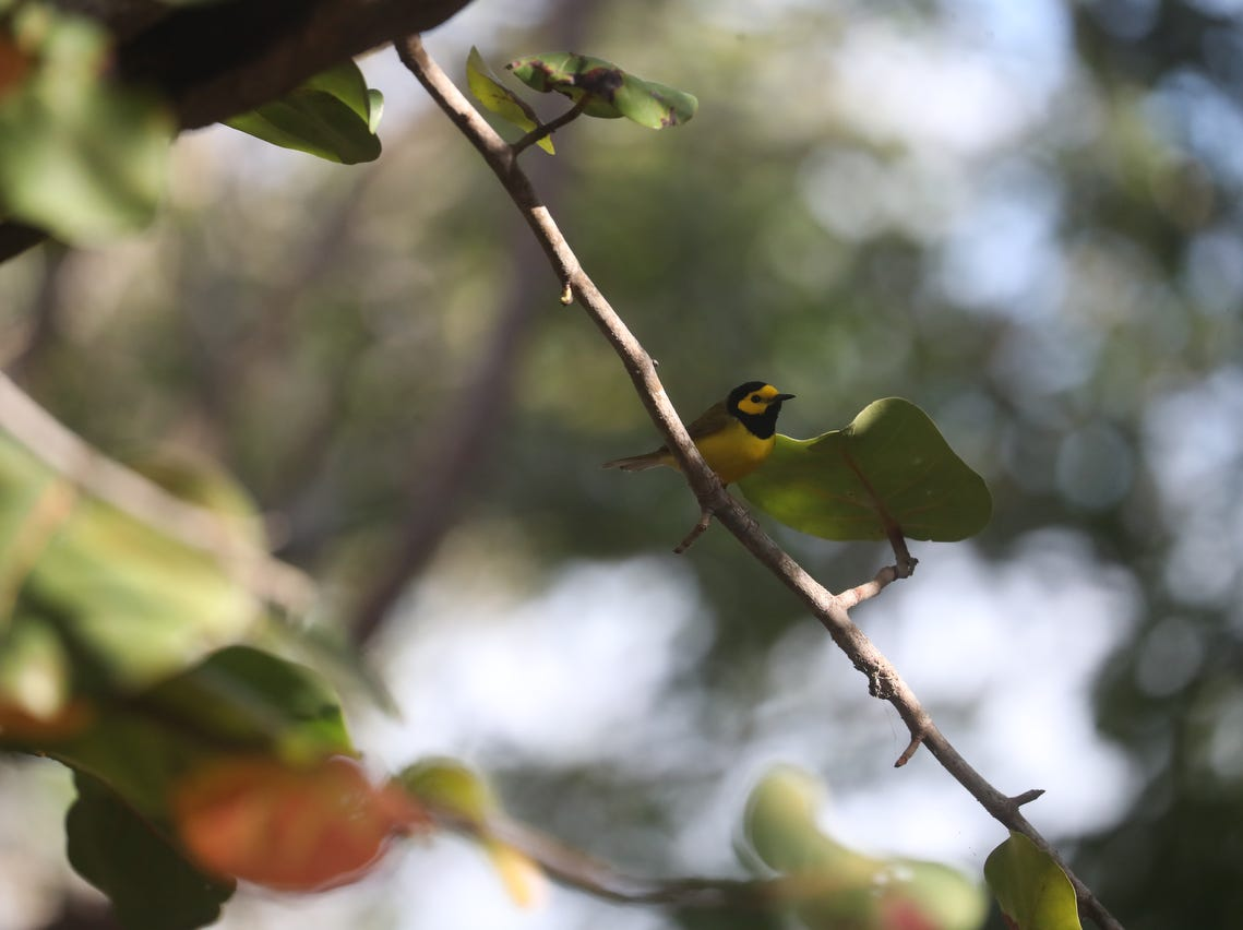 A hooded warbler flits through shrubbery at the Sanibel Lighthouse on Sanibel Island on Saturday, April 20  2019. It is spring migration for birds as they make their way north. They are coming from Central America where they make their way across the Gulf of Mexico.